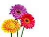Gerbera-Blumen | Stock Foto