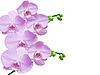 Orchidea   Stock Foto