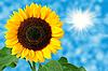 Sonnenblume | Stock Foto