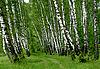 ID 3113098 | Brzozowy las | Foto stockowe wysokiej rozdzielczości | KLIPARTO