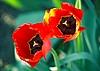 ID 3088664 | Zwei hellrote Tulpen | Foto mit hoher Auflösung | CLIPARTO