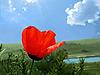 Roter Mohn | Stock Foto