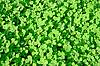 Grüner Klee-Hintergrund | Stock Foto