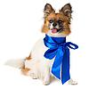 ID 3091103 | Pies rasy Papillon z niebieską kokardą | Foto stockowe wysokiej rozdzielczości | KLIPARTO