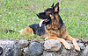 ID 3092974 | Owczarek niemiecki pies leży na trawie | Foto stockowe wysokiej rozdzielczości | KLIPARTO