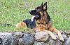 ID 3092974 | Немецкая овчарка сидит на траве | Фото большого размера | CLIPARTO