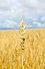 Kłos pszenicy z biedronka | Stock Foto