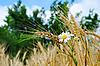 Uszy pszenicy z kwiatami | Stock Foto