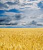 Złote pola pod dramatycznego nieba | Stock Foto