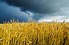 Pole z jęczmienia pod dramatycznego nieba | Stock Foto
