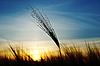 Kłosy pszenicy w godzinach wieczornych | Stock Foto