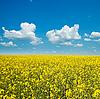 Kwiaty rzepaku na polu | Stock Foto