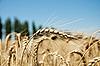 Bliska, dojrzałe kłosy pszenicy z nieba i drzew | Stock Foto