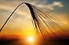 Kłos pszenicy dojrzałych na zachód słońca | Stock Foto