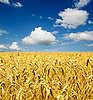 Złota uszy pszenicy na przestrzeni powietrznej | Stock Foto