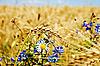 Pole pszenicy z kwiatami | Stock Foto