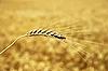 Złoty pszenicy ucha | Stock Foto