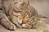 Gray atigrado gato durmiendo | Foto de stock