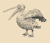 Original-Tuschezeichnung von Pelikan mit offenen Schnabel