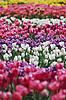 ID 3115576 | Tulipany | Foto stockowe wysokiej rozdzielczości | KLIPARTO