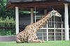 Big spotty giraffe lying on grass | Stock Foto