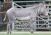 Striped zebra female standing in front | Stock Foto