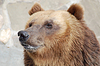 Braunbär, wildes Leben | Stock Foto