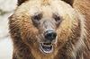 Niedźwiedź brunatny, dzikie życie | Stock Foto