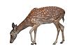 Weißwedelhirsch-Kitz, Tierwelt | Stock Foto