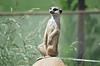Meerkat (Suricata suricatta) portret, pustynia, dziewiczość | Stock Foto