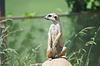 Erdmännchen (Suricata suricatta) Porträt, Wüste Tierwelt | Stock Foto