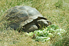 Big Seychelles turtle eating, Giant tortoise | Stock Foto