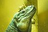 Legwan zielony twarz (Iguana iguana) | Stock Foto