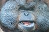 Von riesigen männlichen Orang-Utan | Stock Foto