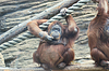 Huge female orangutan thinking and scratching her chin | Stock Foto
