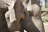 动物家族对夫妇在爱的亚洲象, | 免版税照片
