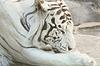 Rzadko biały tygrys leżący na skale w zoo | Stock Foto