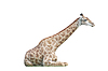 Lying big spotty giraffe | Stock Foto