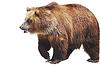 Niedźwiedź brunatny, przyrody | Stock Foto
