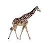 Фото 300 DPI: жираф