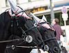 ID 3109638 | Paar schwarze Pferde | Foto mit hoher Auflösung | CLIPARTO