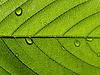 Зеленый лист с каплями | Фото