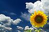 Sonnenblume im Himmel | Stock Foto