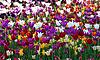 Mehrfarbige Tulpen | Stock Foto