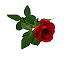 Rote Rose | Stock Foto