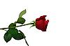 Rote Rose | Stock Foto