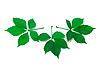 Drei grüne Blätter wildem Wein | Stock Foto