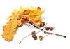 ID 3377078 | Jesienne liście dębu i żołędzie | Foto stockowe wysokiej rozdzielczości | KLIPARTO