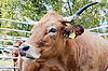 Kuh | Stock Foto