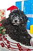 Welpe von Pudel mit Weihnachtsgeschenken | Stock Foto